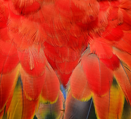 looked: Exotic of Red and Fire Looked Scarlet Macaw Feathers