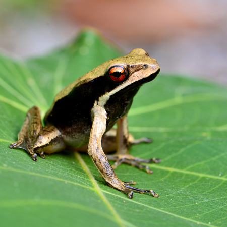 big eye: Big eye  in close up of black-sided tree frog sitting on the green leave