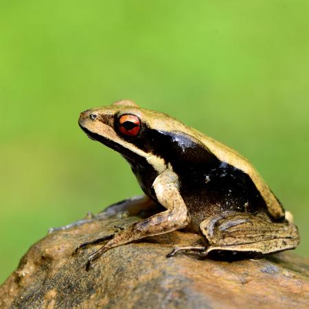 side lighting: Big eye close up of black side tree frog sitting on the rock in sunshine lighting Stock Photo