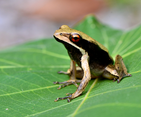 big eye: Big eye close up of black side tree frog sitting on green leave