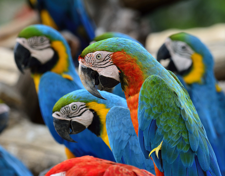 architech: Harliquin Macaw sitting together with Blue and Gold macaw in background