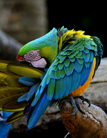 Harliquin Macaw bird cleaning its feathers with nice in details
