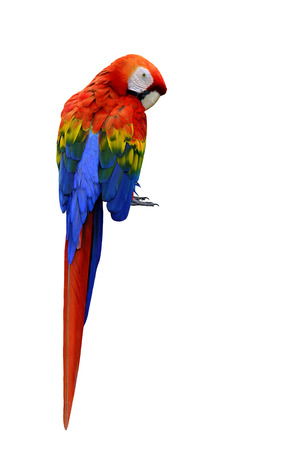 Beautiful Scarlet Macaw bird back profile isolated on white background