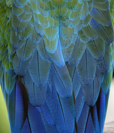 Blue Macaw Bird Feather in back profile with nice in details and texture Stock Photo