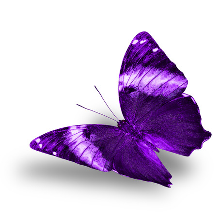 wing span: Beautiful flying purple butterfly with nice soft shadow on white background