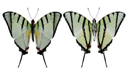 papilio demoleus: Set of Fourbar Swordtail butterfly both upper and lower wing in natural color profile isolated on white background