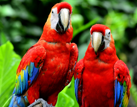 architech: Sweet pair of Scarlet Macaw birds standing together in romantic mement