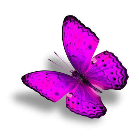 pink butterfly: Beautiful Flying pink butterfly (Common Yeoman) in fancy color with soft shadow