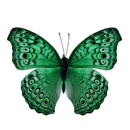 green butterfly: Beautiful Green Butterfly back wing profile in fancy color isolated on white background