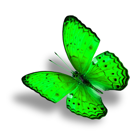 green butterfly: Beautiful Flying green butterfly (Common Yeoman) in fancy color with soft shadow