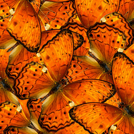 Exotic Orange Background made of Common Yeoman butterflies (cirrochroa tyche)