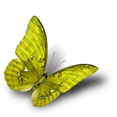 yellow butterfly: The beautiful flying yellow butterfly on white background with soft shadow beneath