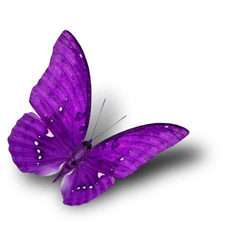 papilio demoleus: The beautiful flying purple butterfly on white background with soft shadow beneath