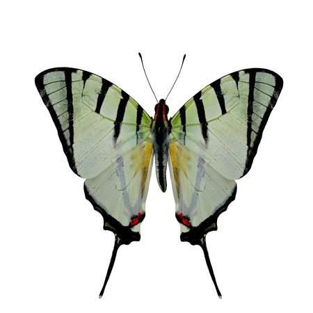 papilio demoleus: Fourbar Swordtail butterfly upper wing in natural color profile isolated on white background
