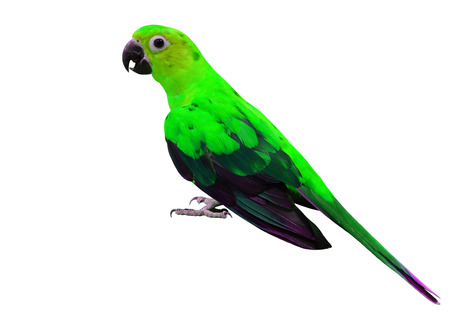 green parrot: The beautiful green parrot bird standing on the floor isolated on white background