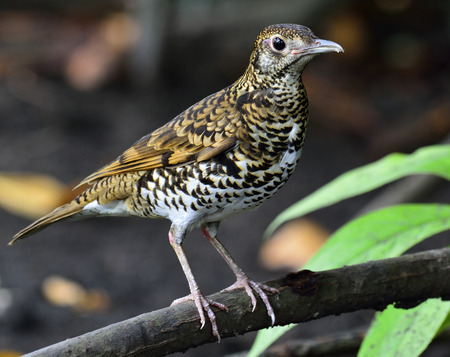 thrush: White Thrush or Tiger Thrush bird standing on the branch