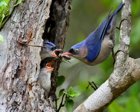 ベルベットはガラス張りの那須美しい青い鳥は、巣穴に雛を供給しながら親として任務を遂行します。 写真素材