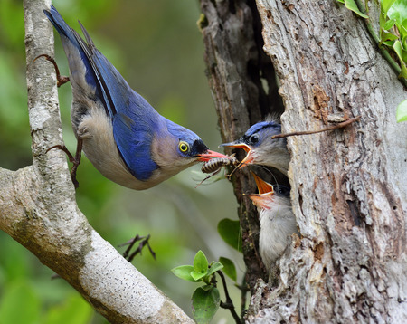 Velvet-fronted Nathatch the beautiful blue bird performs its parenthood duty while feeding his chicks on the nest hole