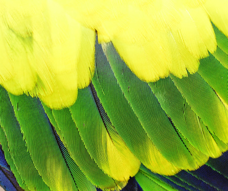 bird feathers: Yellow Blue and green parrot bird feathers in close up