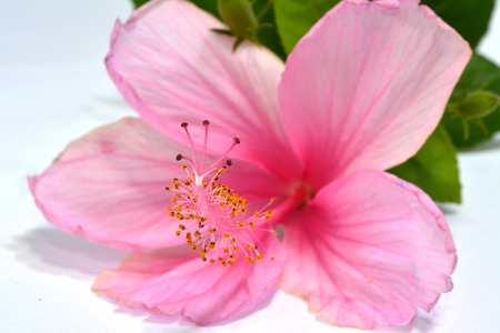 flori culture: Pink Hibiscus flowers laying on white floor Stock Photo