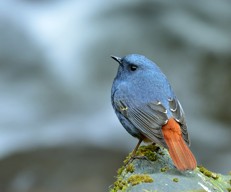 slaty: Male of Plumbeous water redstart standing on the rock in the flooding stream with back feathers profile
