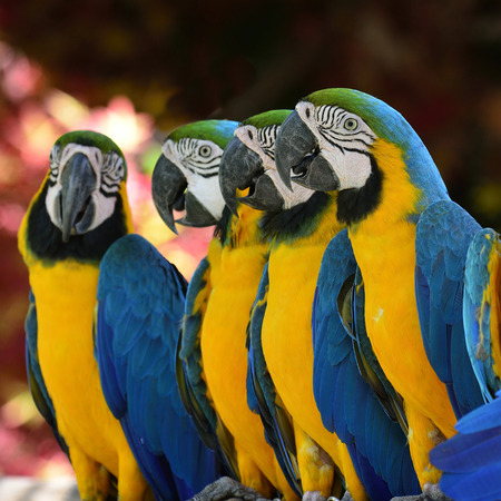nice breast: Group of Blue and Gold Macaw birds sitting together showing their yellow breast feathers with nice pink bokeh in background Stock Photo