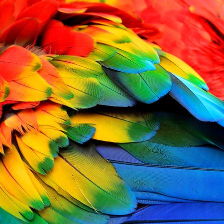 barvitý: Červená žlutá a modré peří Scarlet papoušek pták s krásnými barvami profilem Reklamní fotografie