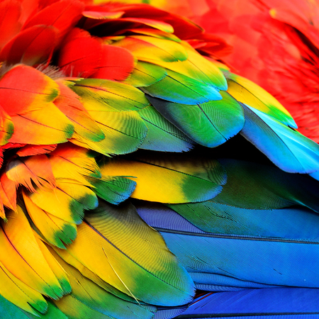 bird feathers: Red Yellow and Blue feathers of Scarlet Macaw bird with beautiful colors profile Stock Photo