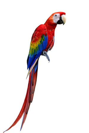 long tail: Beautiful Scarlet Macaw bird with nice long tail isoalted on white background