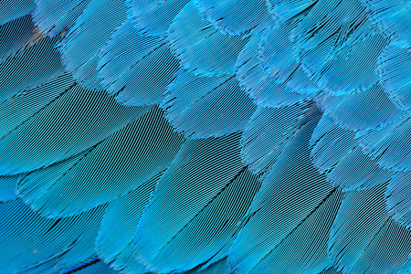 Beautiful blue background and texture captured from bluee and gold macaw feathers