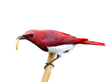 美しい赤い鳥は白い背景の分離された枝に止まった彼の手形のワームは、食品を運ぶ