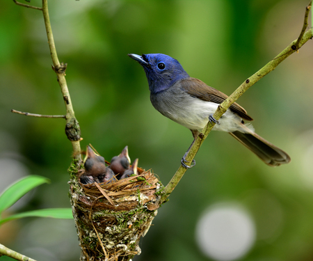 Female of black-naped blue monarch or blue flycatcher perching on the branch while guarding her babies in the nest with really nice green blur background and bokeh Stock fotó