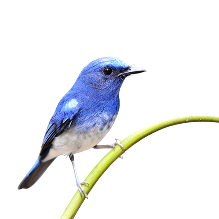 birds on branch: Hainan Blue Flycatcher the beautiful blue bird sticking on the bamboo branch isolated on white background
