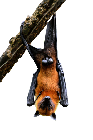 murcielago: Haunting colgante zorro volador o el murci�lago grande de descanso en la rama de un �rbol aislado en fondo blanco Foto de archivo