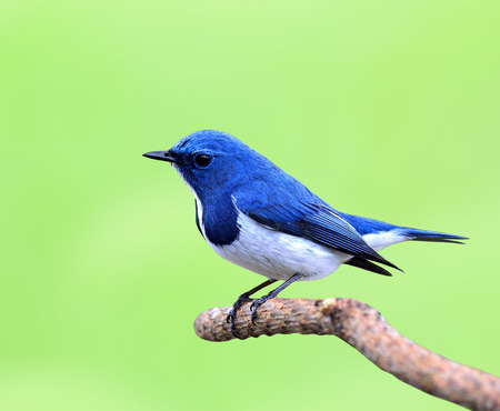 ultramarine blue: Ultramarine Flycatcher (Ficedula superciliaris) the beautiful tiny blue bird perching on the pile stick with nice blur green background Stock Photo