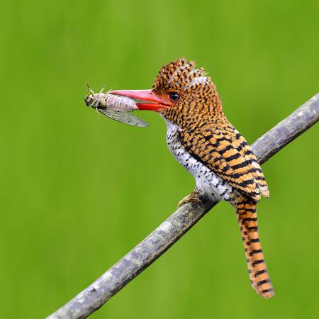 animales del bosque: Mujer de Kingfisher congregado aves posarse en la rama llevar comida para alimentar a su polluelo en el nido sobre fondo verde de desenfoque