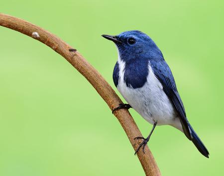 ultramarine blue: Ultramarine Flycatcher (Ficedula superciliaris) the very beautiful tiny blue bird perching on the stick with nice blur green background