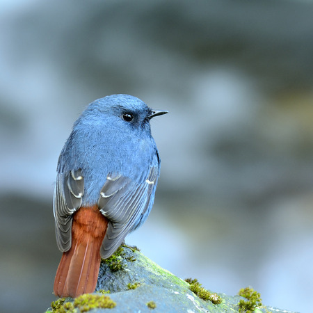 slaty: Plumbeous water redstart (Rhyacornis fuliginosa) the cute slaty blue bird living in stream and river with nie red tail Stock Photo