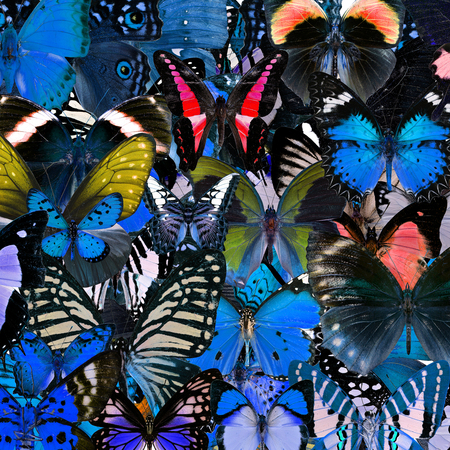 compilation: Exotic blue background texture by the compilation of many butterflies in the greatest set of beautiful livery