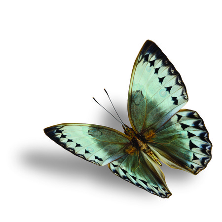 wing span: Beautiful Flying Cambodia Junglequeen butterfly on white background with soft shadow beneath
