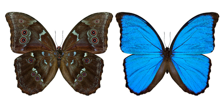 Set of Blue Morpho butterfly (disambiguation) or Sunset Morpho both upper and lower wing parts in natural color profile isolated on white background, exotic blue butterfly