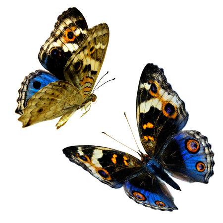 白い背景に分離された青い蝶の飛翔のコンパイル