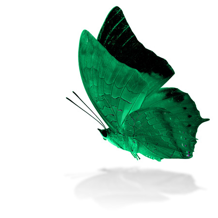 rajah: Beautiful flying pale green butterfly, the Scarce Tawny Rajah in fancy color profile on white background with grey shadow reflection