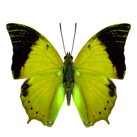 wing span: Beautiful Yellow Butterfly, the Scarce Tawny Rajah Butterfly (Charaxes aristogiton) in fancy color profile isolated on white background