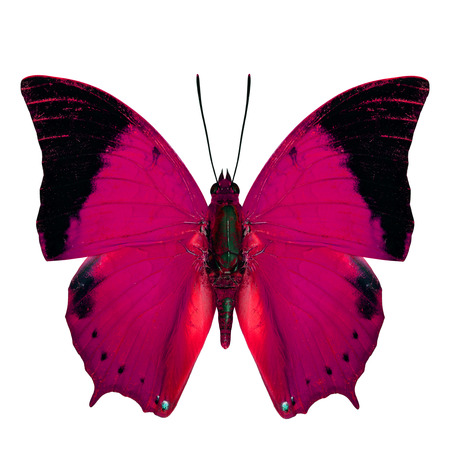 rajah: Pink Butterfly, the Scarce Tawny Rajah Butterfly (Charaxes aristogiton) in fancy color profile isolated on white background