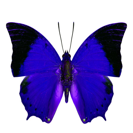 rajah: Beautiful Blue Butterfly, the Scarce Tawny Rajah Butterfly (Charaxes aristogiton) in fancy color profile isolated on white background Stock Photo