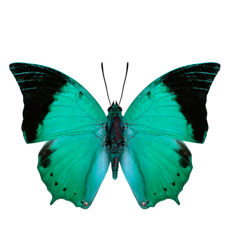 rajah: Beautiful light green butterfly, the Scarce Tawny Rajah in fancy color profile isolated on white background