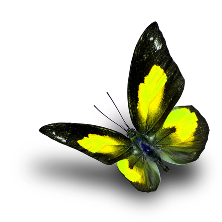 yellow butterfly: Beautiful flying yellow butterfly, the Bright Sunbeam or Malayan Sunbeam butterfly in fancy color with shadow beneath on white background
