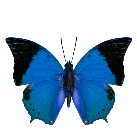 rajah: Beautiful light blue butterfly, the Scarce Tawny Rajah in fancy color profile isolated on white background