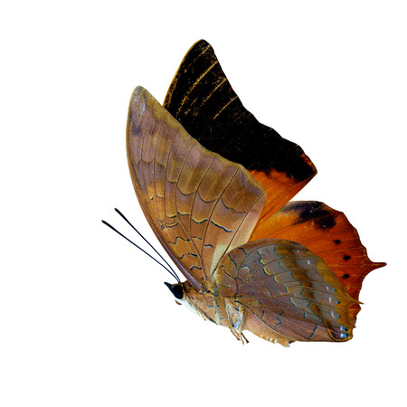 wingtips: Beautiful flying Scarce Tawny Rajah Butterfly (Charaxes aristogiton) the orange with black wingtips butterfly in natural color profile isolated on white background Stock Photo